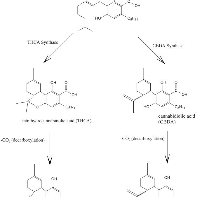 CBD vs THC Biosynthesis
